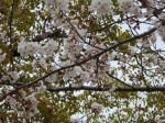 満開の桜その2