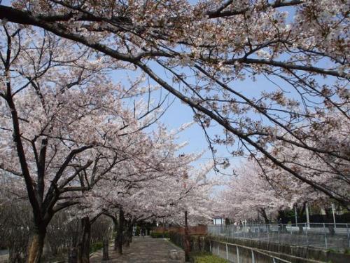 新井宿桜01