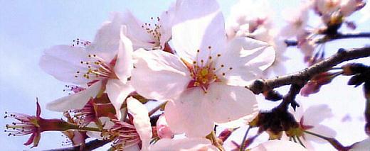 花見1 (5)