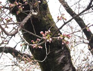 2008桜開花