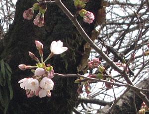 2008桜開花2