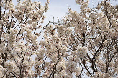 0316さくらんぼの花全体2