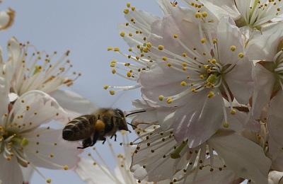 0316さくらんぼの花飛ぶミツバチ