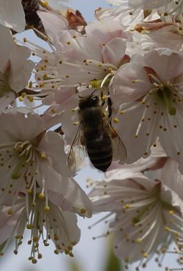 0316さくらんぼの花ミツバチ
