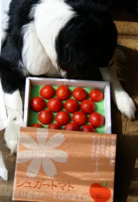 0324シュガートマト