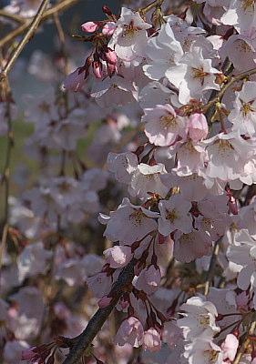 0401元気の森しだれ桜縦