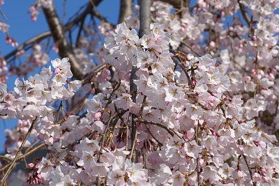 0401元気の森しだれ桜横