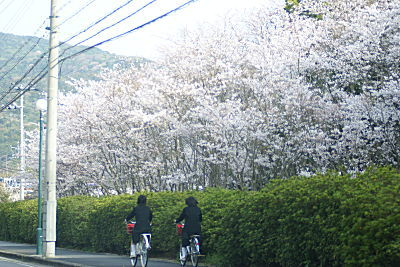 0404通学路の桜