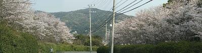 0404通学路の桜4枚合成s