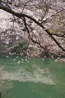 0406諭鶴羽水面の桜
