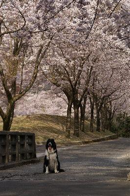 0406諭鶴羽桜並木とヴィヴィs