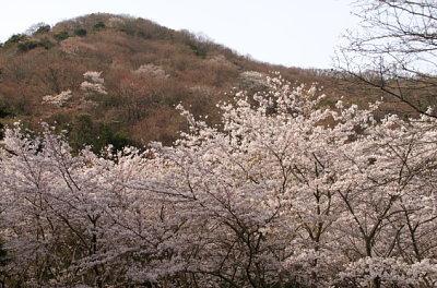 0406諭鶴羽桜と桜色の山