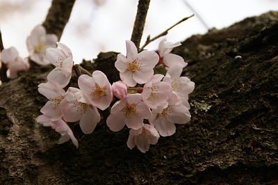 0406諭鶴羽桜アップs