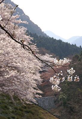 0406谷と桜