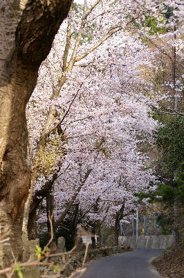 0406諭鶴羽桜並木s