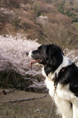 0406諭鶴羽ヴィヴィの横顔と桜s