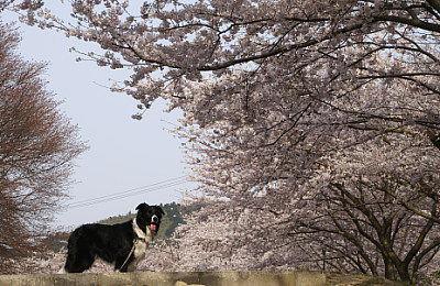 0406桜並木とヴィヴィs