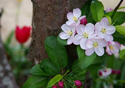 0414姫リンゴの花アップ