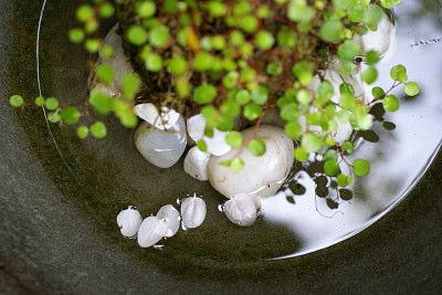0418桜の花びらと苔玉s