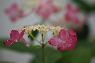0619山紫陽花