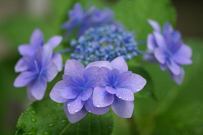 0619額紫陽花1
