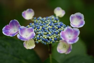 0619額紫陽花2