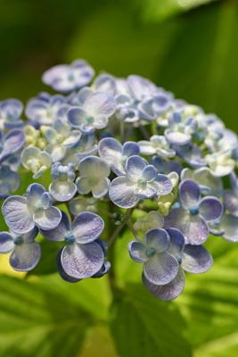 0619渦紫陽花