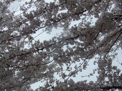 桜のアーチ♪