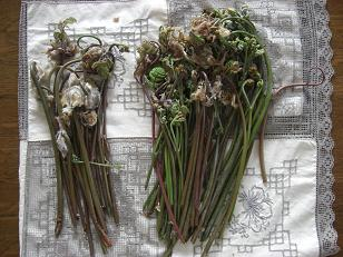 摘んだ 蕨 と ぜんまい