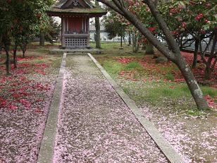 八重桜と椿の落花