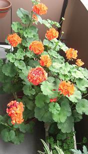 ベランダの花2