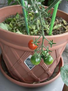 ミニトマト・菜園