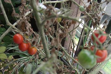 ミニトマト(ベランダ)