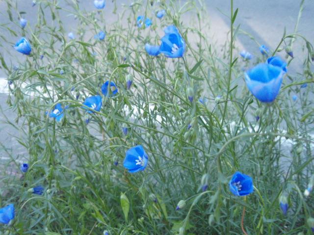 風に揺れる亜麻の花