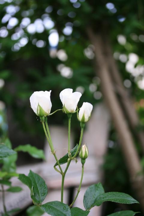 棘がないバラ