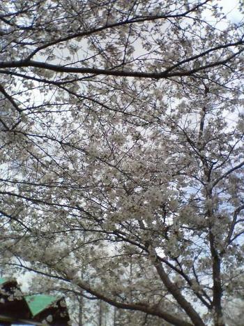 3-29桜1
