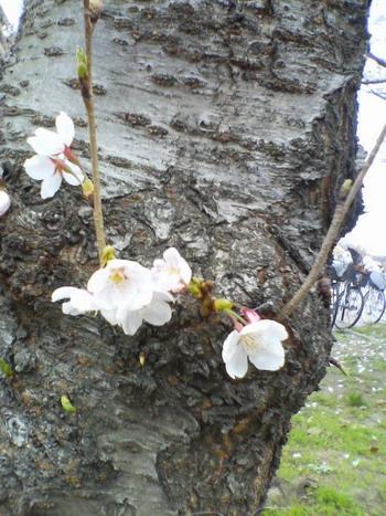3-29桜UP2