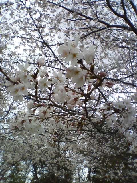 3-29桜4
