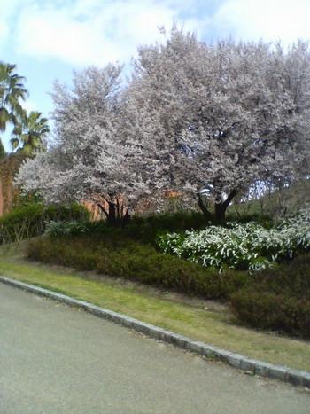 3-29桜満開12