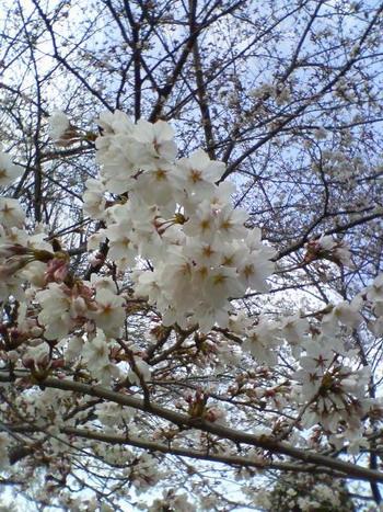 3-29桜14