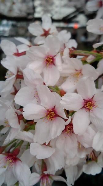 2008桜-3