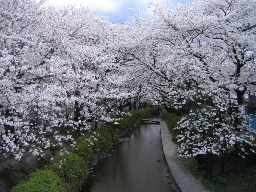 2008桜 001