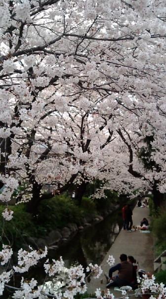 2008桜-2