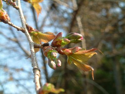 山桜のつぼみ