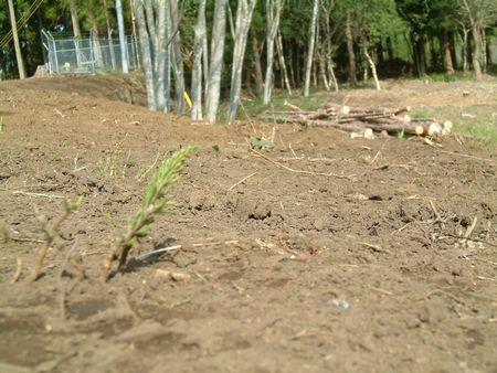 クローバーの種まき