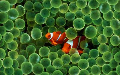 clown-fish_wallpapers_5182_1280x800.jpg