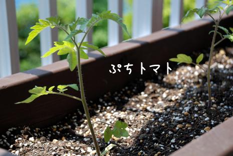 ぷちトマト20080515