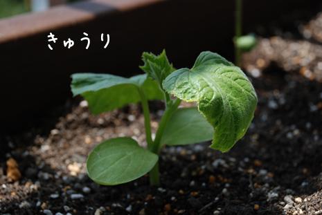 きゅうり20080515