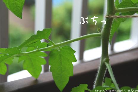 トマトのわき芽かき