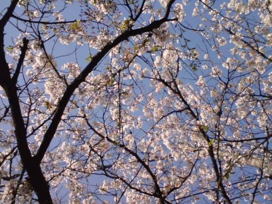 sakura_convert_20080403183819.jpg
